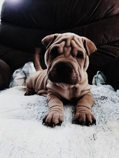 Dogs cure ARD, and cats - neuroses: 5 animals that help in fighting various diseases Cute Puppies, Cute Dogs, Dogs And Puppies, Doggies, Shar Pei Puppies, Cute Baby Animals, Animals And Pets, Funny Animals, Cute Creatures