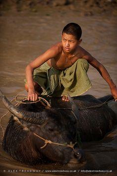 Water buffalo Inle Lake . Myanmar