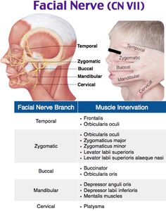 Facial nerve and innervation neuro HEENT Facial Nerve Anatomy, Brain Anatomy, Medical Anatomy, Human Anatomy And Physiology, Massage Therapy Near Me, Massage Envy, Facial Nerve Branches, Nervous System Anatomy, Massage Facial