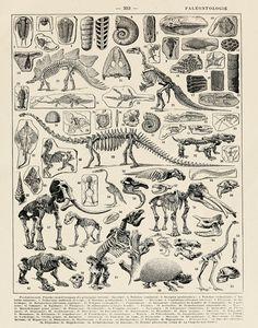 Vintage French Print of Dinosaur Skeletons by michaelellisstudios