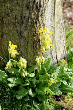 My parents backgarden in Norfolk is full of wild cowslips that have self seeded from the nearby meadows and field margins, and a few years ago I collected a fistful of seeds and scattered them at the foot of some trees in our garden and I am so very glad I did. They are one of my most favourite flowers, flowering so early and with so much simple charm.