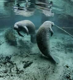 """You can view manatees in the wild around Anna Maria Island, Florida. The Manatee is an amazing and endangered mammal. We are lucky to have these gentle giants in the """"backyards"""" of Anna Maria Island Home Rental"""