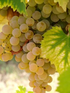Green Grapes on the Vine Fruit And Veg, Fruits And Vegetables, Fresh Fruit, Italian White Wine, Growing Grapes, In Vino Veritas, Delicious Fruit, Fruit Trees, Wine Recipes