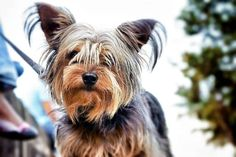 The Yorkshire terrier vs. the Silky terrier: this guide lays out the differences and similarities between these two breeds along with photos and tips. Yorkshire Terrier Teacup, Yorkshire Terrier Puppies, Cairn Terrier, Terrier Dogs, Bull Terriers, Teacup Yorkie, Yorkie Puppy, Baby Yorkie, Corgi Puppies