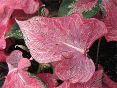 fancy leaves of the Caladium