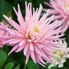 120702_388_Dahlia 'Pink Princess'.jpg | Dahlia 'Pink Princes… | Flickr