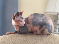 Francine sphynx on the couch
