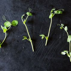 Get ideas for maximizing pea shoots' short season with a week's worth of meals, and learn how to extend it by growing your own. Slow Cooked Salmon, Growing Peas, Mark Bittman, Baby Arugula, Fava Beans, Sugar Snap Peas, Fruit In Season, Grow Your Own, Food 52