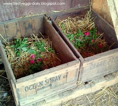 Nesting Box Herbs - grow and dry herbs for use in nesting boxes in winter, or use fresh in summer.  Herbs for health benefits include: mint, basil, lemon balm, thyme, parsley, catnip, oregano, bee balm, lavender, marigold and rose petals.  Helps to repel rodents, flies and parasites & calms broody hens.  Wild birds line their nests with fresh herbs, especially those that contain essential oils.
