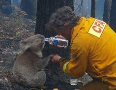 A Firefighter gives wild koala water after Australian bushfire. (Holding his little paw!!!!)....There is a video for this awesome photo, we will post it tomorrow on the page