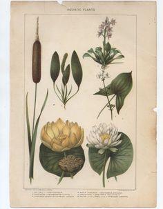 Antique Botanical Print  Aquatic Plants Lithograph by find4you