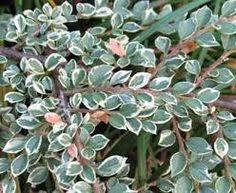 Afbeeldingsresultaat voor cotoneaster horizontalis variegata