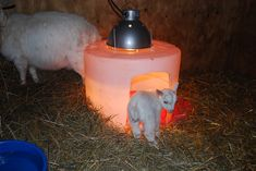 Homemade Warming Hut - Nigerian Dwarf Dairy Goats...would only be good for winter kiddings during a harsh winter.