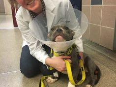 1/8/17 PLEASE SHARE! TATER TOT FIGHTING FOR HIS LIFE!! HIS CHANCES ARE 50/50!! Tater Tot, estimated to be 10-12 months, was left tied to a pole on New Years Eve in New York City. He was suffering from a severely prolapsed rectum and a protruding penis. NYPD Officers brought him to NYC ACC. After seeing a volunteer post his condition, Mr. Bones & Co., a New Hope rescue...