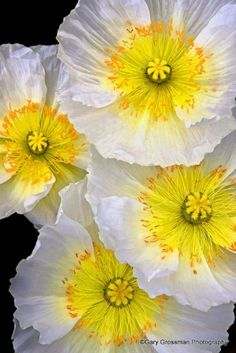 White and yellow poppies by DeeDeeBean