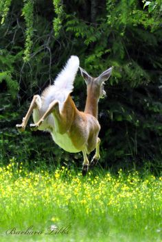 This photo perfectly illustrates how the Whitetail Deer got its name --- and boy, can they leap! Beautiful Creatures, Animals Beautiful, Animal Original, Deer Family, Oh Deer, Baby Deer, Mundo Animal, Nature Animals, Cute Baby Animals