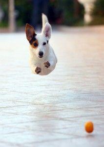Gesunder Jack Russell Parson Terrier