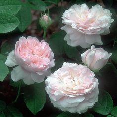 Belle Isis rose - pink gallica, 6', no repeat bloom