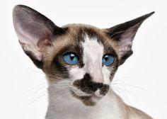 Kot seszelski krótkowłosy