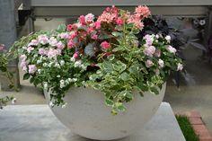 Kot modna zasaditev v rožnati barvi sestoji kot vodenka s polnjenimi cvetovi, pokončne begonije, Gumdrop moljevka, sladki krompir, bela bakopa, rožnata zvezdasta pelargonija Plants, Plant, Planets