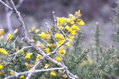 Gorse flower no.2 Flowers, Plants, Flora, Royal Icing Flowers, Floral, Plant, Florals, Flower, Bloemen