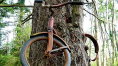 Lost Bicycle Swallowed by Washington Tree (ABC News)