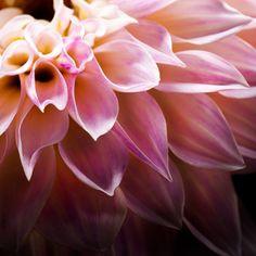 Macro Flower Photography   Flower Photography   Abstract Photography   Photography   Abstract Art   Wall Decor   Wall Art   Art   Photo Art   Home Decor Abstract Photography, Flower Photography, Macro Flower, Dahlia, Wall Art Decor, Photo Art, Abstract Art, Gallery, Rose
