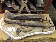 FossilFriday: A Plateosaurus ...