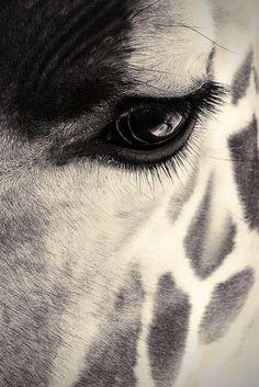 Giraffe Animals Like You've Never Seen Them Before Wildlife Photography, Animal Photography, Close Up Photography, Beautiful Creatures, Animals Beautiful, Beautiful Eyes, Beautiful Eyelashes, Stunningly Beautiful, Regard Animal