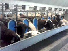 A sheep dairy setup.
