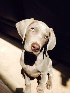 Here are a few facts you should know about Weimaraner puppies if you plan to make one a part of your family. Here are a few facts you should know about Weimaraner puppies if you plan to make one a part of your family. Cute Dogs And Puppies, Pet Dogs, Dog Cat, Doggies, Tiny Puppies, Puppy Pictures, Cute Pictures, Cute Baby Animals, Funny Animals