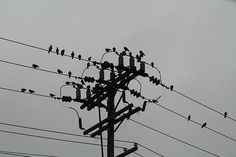 bird, birds, and more birds on telephone pole/wires