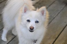 Pomeranians Dogs tips for sharing your home with a Pomeranian dog _ white Pom Pom dog on a deck - Pomeranians are known for being bold in spite of their small size. Find out some fun facts about this fascinating breed. Pomeranian Facts, Pomeranian Breed, White Pomeranian, Pomeranians, Pitbull Terrier, Pom Dog, Puppy Grooming, Dog School, Save A Dog