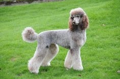 nice French Poodles, Standard Poodles, Silver Poodle, Poodle Cuts, Sweet Dogs, Animals And Pets, Awesome, Amazing, Laughing