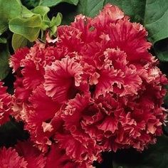 Double Valentine red petunia blossom 30 pelleted seeds - $2.99