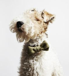 Bertie the Fox Terrier via Style Tailor. Photography by Little Portrait…