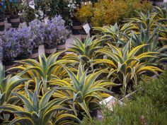 Dwarf Variegated Agave- vibrant green and yellow variegated foliage. Gets about 2-3 feet tall and wide. Drought and heat tolerant. Tolerates poor soil. Deer resistant!
