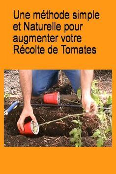 Une #méthode simple et #Naturelle pour augmenter votre #Récolte de #Tomates