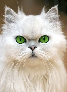 White beauty.  (personally, I would have preferred it with its naturally colored eyes, instead these photo color-enhanced green eyes which look very pretty, but fake).
