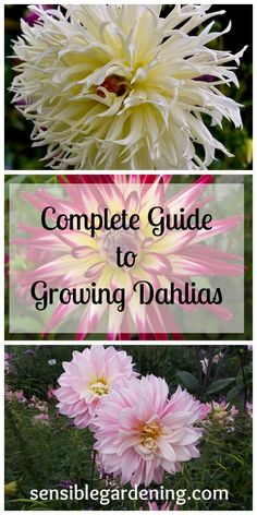 Complete Guide to Growing Dahlias with Sensible Gardening