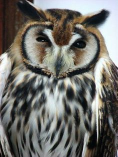 Owls ✿⊱╮