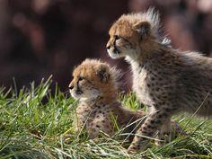 Punk cheetahs