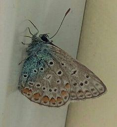 Голубянка