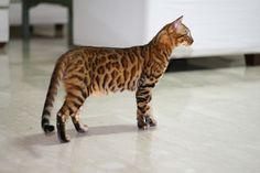 Bengal Cat - will be my next Kitty love!