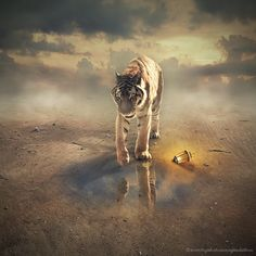 Tiger by evenliu photomanipulation on 500px