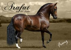 "Arafat, Colombian Trocha horse. The Trocha is a diagonal four-beat trot, called ""square trot"", similar to ""paso fino"", but slower with slightly higher leg movement. Trocha means ""narrow path"". The Colombian Trocha horse was originated in the Mountains of Antioquia, where the wild landscape contributed to develop this short trot in the difficult paths. There is also a quicker modality called ""Trocha Pura"". EL CABALLO TROCHADOR COLOMBIANO 