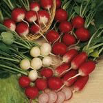 Radish Mix: A mix of colors and sizes--red, pink purple, and bicolor.