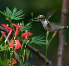 Cardinal Climber Vine -- attracts hummingbirds