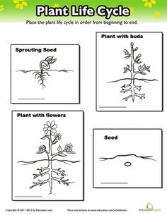 Worksheets: Plant Life Cycle