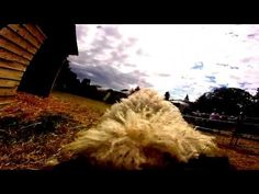 Watch the Sacrewell Lamb National from the lambs' perspective using a Go-Pro Lambs, Gopro, Perspective, Country Roads, Watch, Perspective Photography, Clock, Point Of View, Wrist Watches